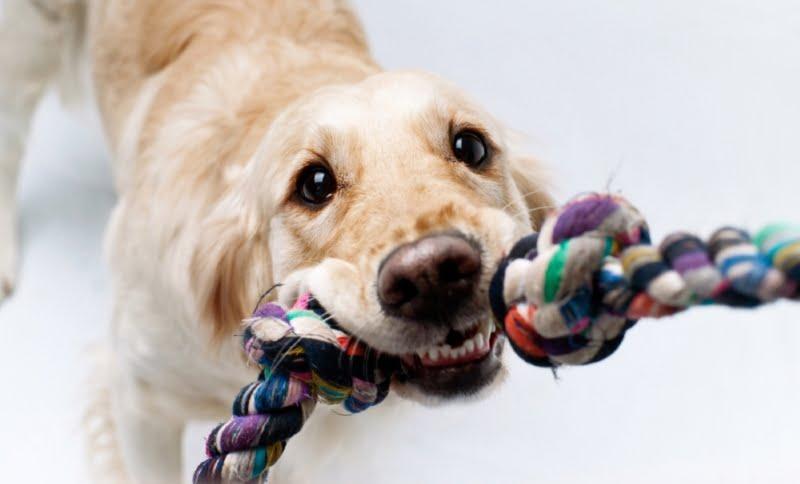 Jak bawić się z psem w przeciąganie?